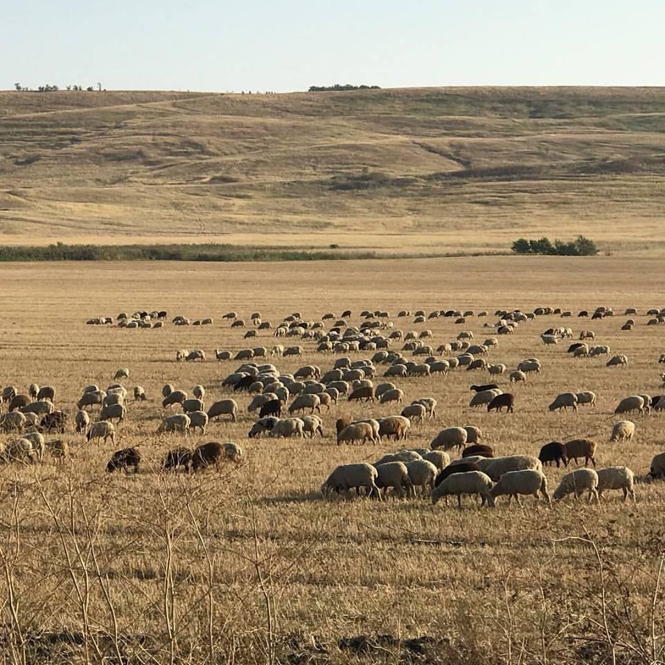 Отара овец под Шпаковской.17.09.17 Сабинин А.В.